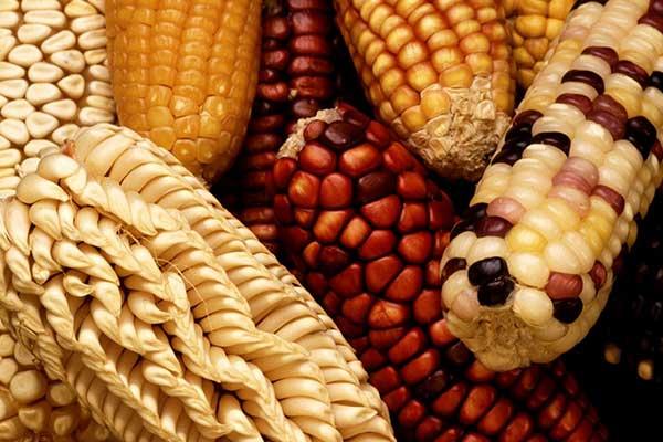 mais-messicano-OGM