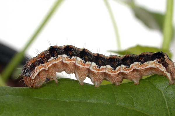 Larva di Helicoverpa armigera-parassita-cotone