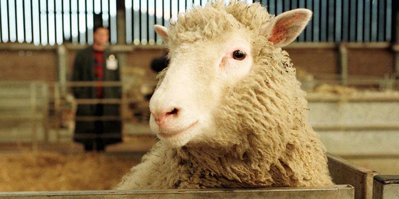 pecora-clonata-Dolly