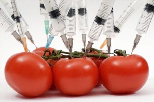 pomodori-geneticamente-modificati