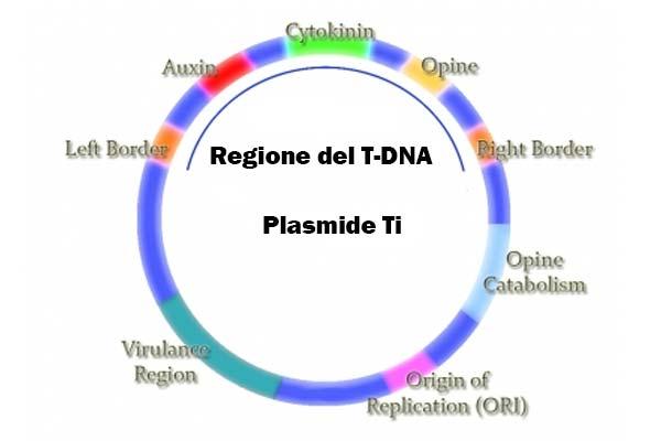plasmide Ti con T-DNA