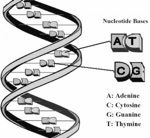 struttura del DNA
