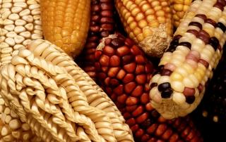 biodiversità dei chicchi di mais