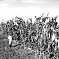 autofecondazione del mais