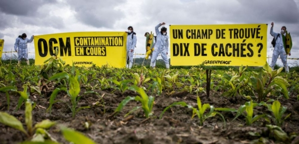 campo inquinato da OGM