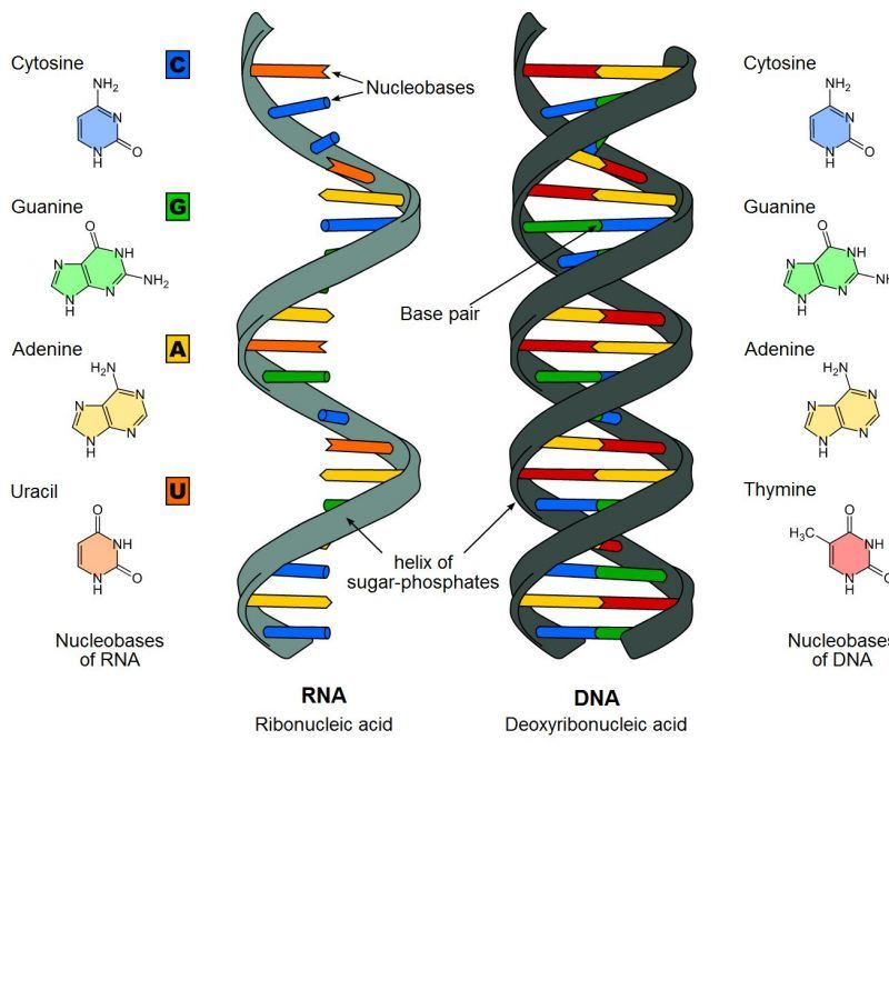 i due acidi nucleici